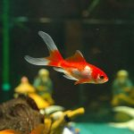 Cometa Goldfish