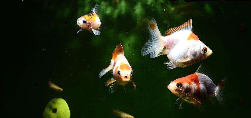 habitat del pez japonés