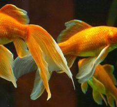 peces japoneses en acuario